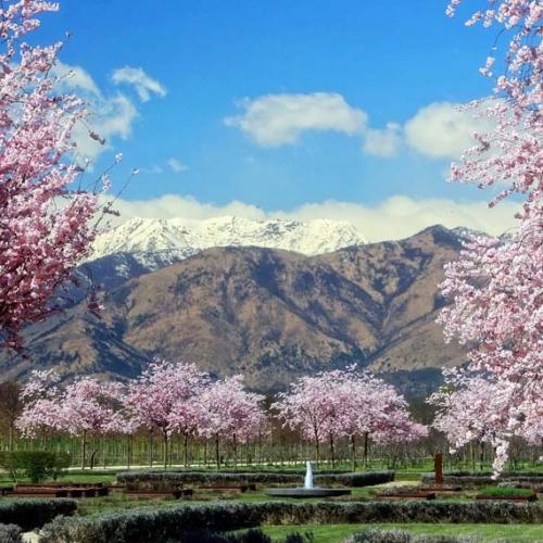 Ciliegi in fiore nel Parco basso della Reggia