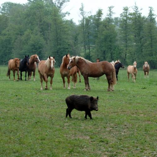 Cinghiale e cavalli nel Parco La Mandria