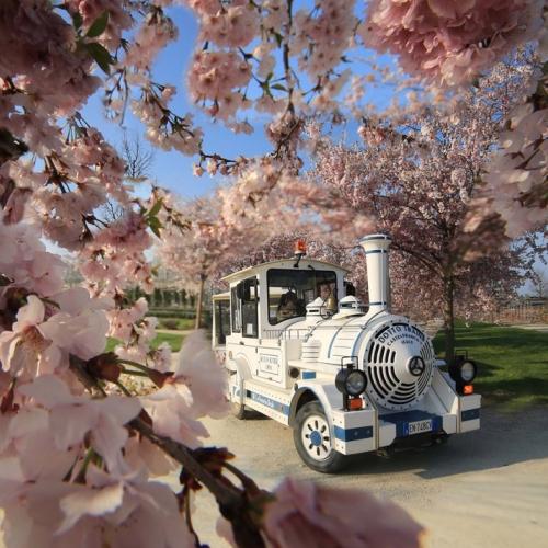 Il trenino dei Giardini tra i ciliegi in fiore