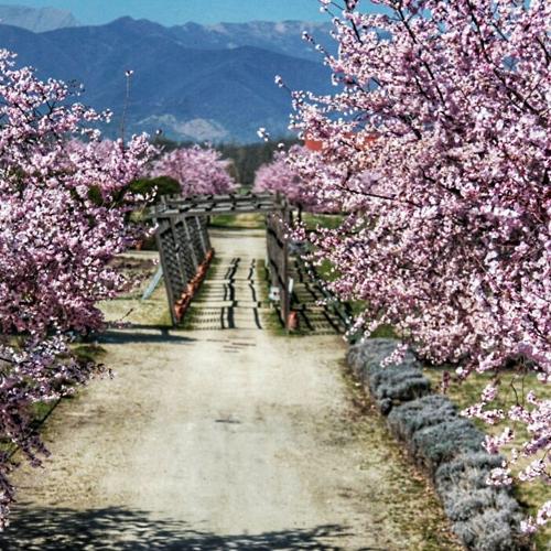Fioritura dei ciliegi nei Giardini della Reggia di Venaria