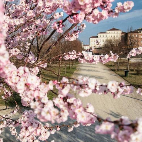 Ciliegi in fiore e Reggia di Venaria